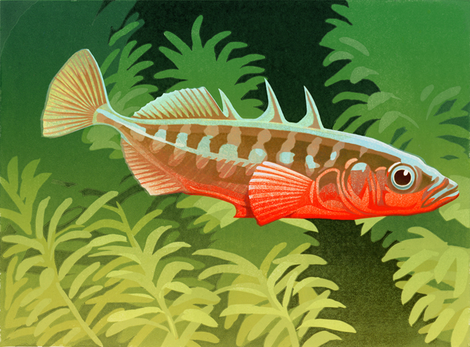 NEW-STICKLEBACK-PRINT2-for-web-blog.jpg